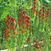 Tomato F1 Sakura - 10 seeds - Cherry type